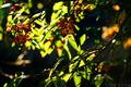 庭風景-檀の実_201129