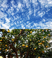 庭風景_201129_青空そして柚子