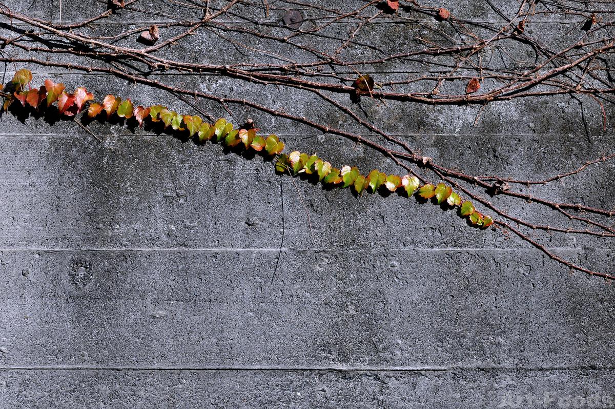 コンクリート壁の蔦_201206