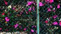 フェンスの向こうの椿_201206