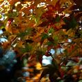 庭風景-楓の紅葉_201220