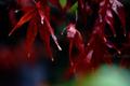 師走の庭風景-雨に濡れる紅葉_201230