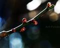 梅の花蕾_210101