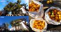 柚子の収穫と剪定_210103