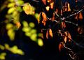 庭風景-檀の残り紅葉_210110