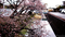 富士市中里放水路の早咲き桜_210127