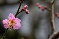 庭の梅開花_210127
