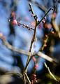 庭風景-梅の花蕾_210131