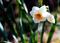 庭風景-スイセン_210131