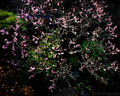 庭風景-梅六分咲き_210213