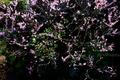 庭風景-梅満開_210221