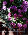 庭風景-ヴィオラ鉢植え_210221
