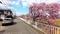 富士市中里放水路の河津桜満開_210224