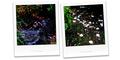雨の庭風景-散った梅と白椿_210302