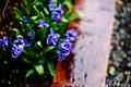 雨の庭風景-クロッカス_210302