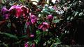 雨の庭風景-クリスマスローズ_210308