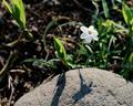 庭風景-ニラクサの花_210310