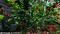 庭風景-ボケの花_210320-1