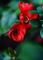 庭風景-ボケの花_210320-2