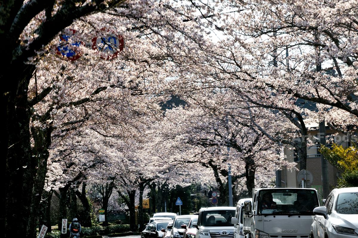 御殿場二の岡の桜並木_210327