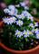雨の庭風景-デイジー_210321