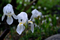 雨の庭風景-ジャーマンアイリス_210328