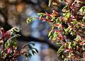庭風景-楓の新芽_210407