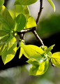 庭風景-柿の新緑_210407