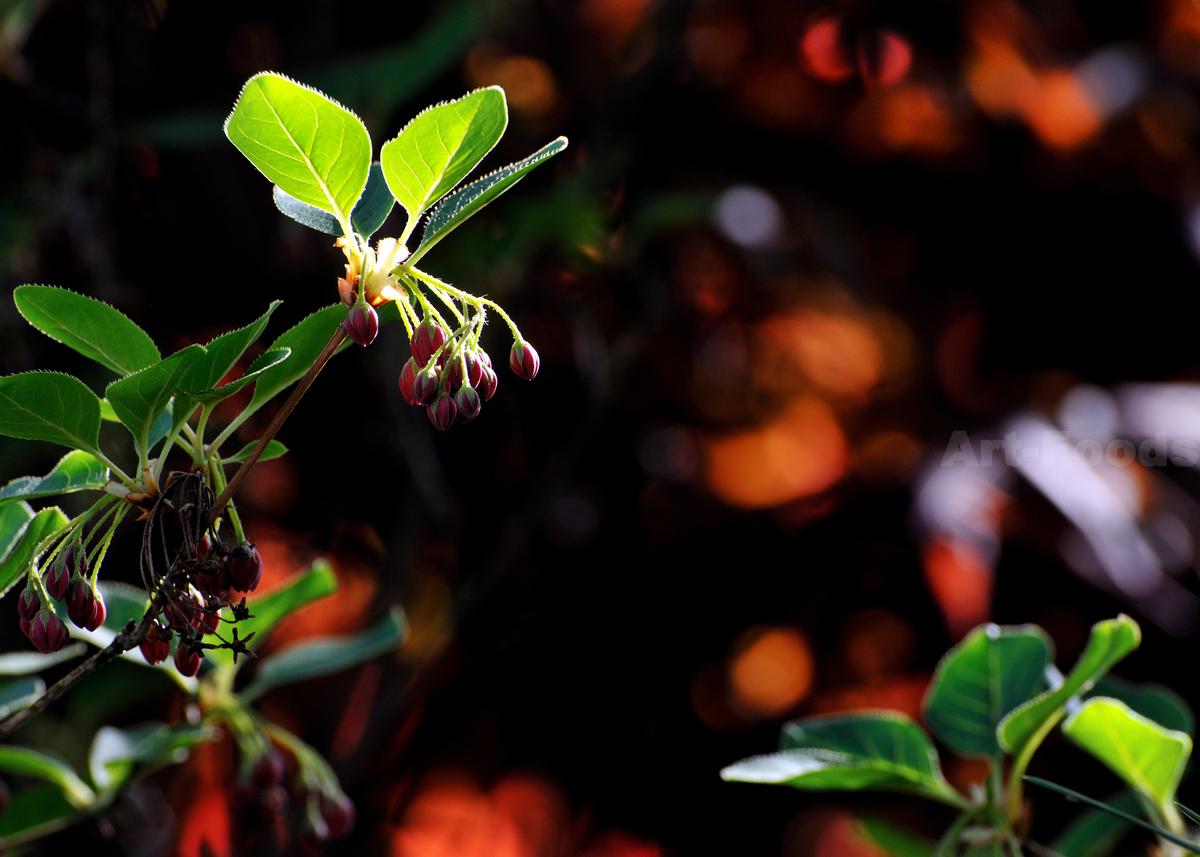 庭風景-ベニバナドウダン_210407