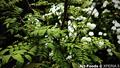 庭の山椒_210409