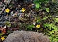 庭風景-飛び石と草花_210411