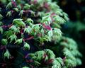 雨の庭風景-楓の新緑_210413