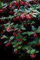 雨の庭風景-ベニバナドウダン_210413