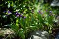 庭風景-シラン_210420-1343