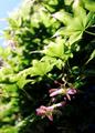 庭風景_楓の紅いブーメラン_210501