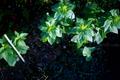 庭風景-桔梗の成長_210503