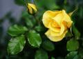 庭風景-黄バラ_210505