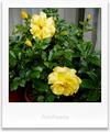 庭風景-大輪黄バラ_210507