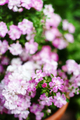 庭風景-鉢植えミニバラ_210510