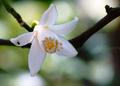 庭風景-柚子の花_210510