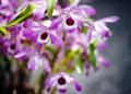 庭風景-デンドロビウム_210512