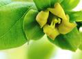 庭風景-柿の花_210515