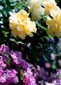 庭風景-鉢植えの大輪黄バラとミニバラ_210515