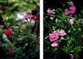 雨の庭風景-ツルバラ_210519