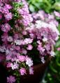 庭風景-鉢植えミニバラ_210512