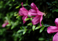 庭風景-ツツジ_210521