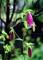 庭風景-ホタルブクロ_210522
