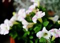 庭風景-サフィニア・アート「ももいろハート」_210522