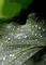 庭風景-柏葉の水滴_210522