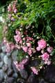庭風景-ピンクのツルバラ_210523